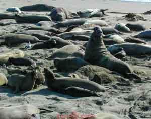 Male Elephant Seal Bragging