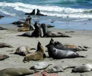 Elephant Seal Mass Discussion