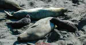 Elephant Seal Pups Dining